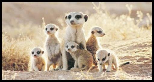 Como se llama la cría de las suricata