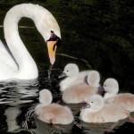 Como se llama la cría del cisne