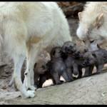 Como se llama la cría del lobo