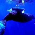 Como se llama la cria de la ballena