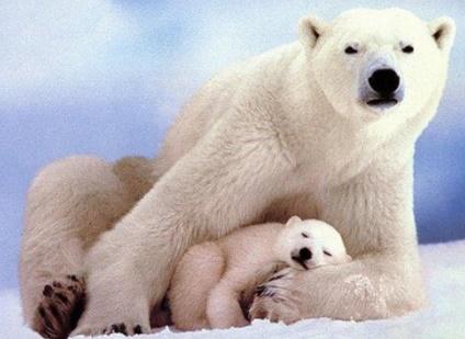 Como se llama la cria de los osos