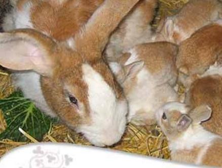 Como se llama la cria del conejo