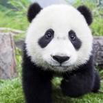 Como se llama la cria del oso panda