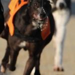 Como se llama la raza de perros utilizada para hacer carreras