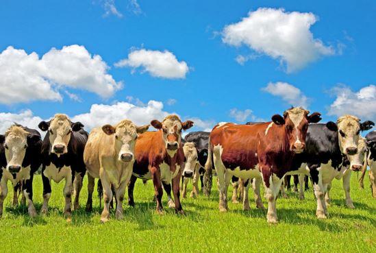 Como se llama el conjunto de vacas