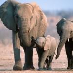 Como se llama el sonido que emite el elefante