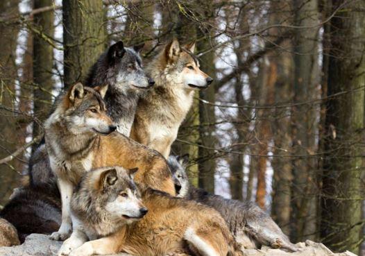 Como se llama un conjunto de lobos