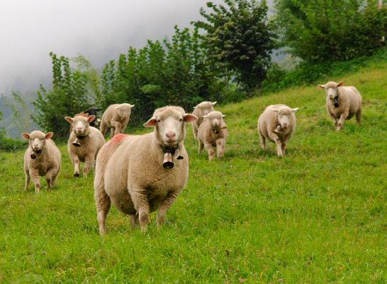 Como se llama un conjunto de ovejas