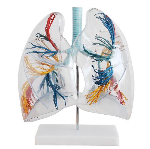 Como se llama el conjunto de bronquios y bronquiolos