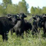 Como se llama el conjunto de bufalos