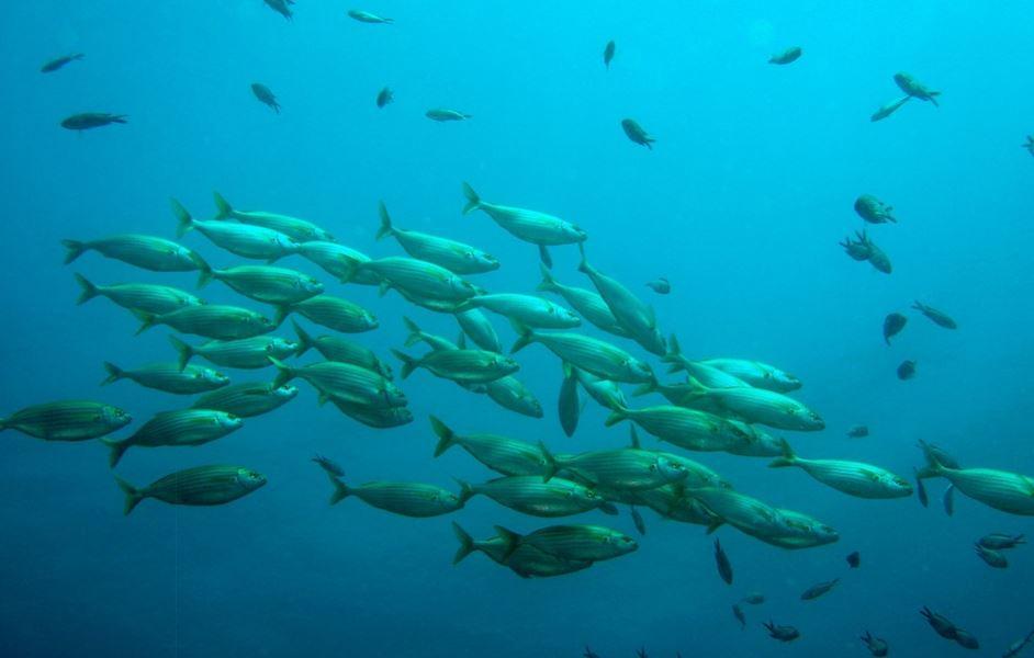 Como se llama el conjunto de peces que van juntos