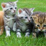 Como se llama el conjunto de gatos