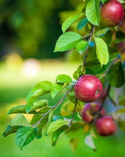 Como se llama la planta de manzana