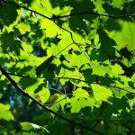 Como se llama el conjunto de hojas verdes