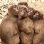 Como se llama el conjunto de monos