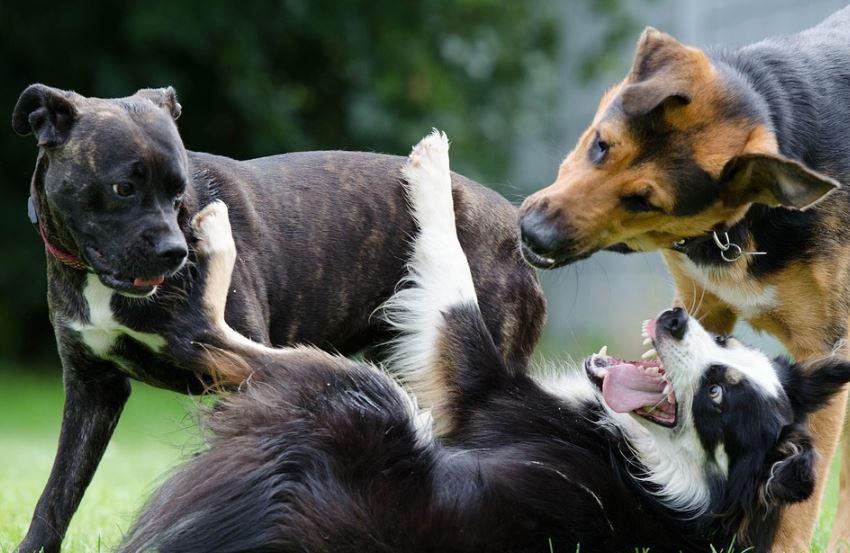 Como se llama el conjunto de perros