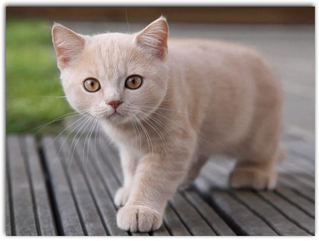 Como se llama la enfermedad del gato