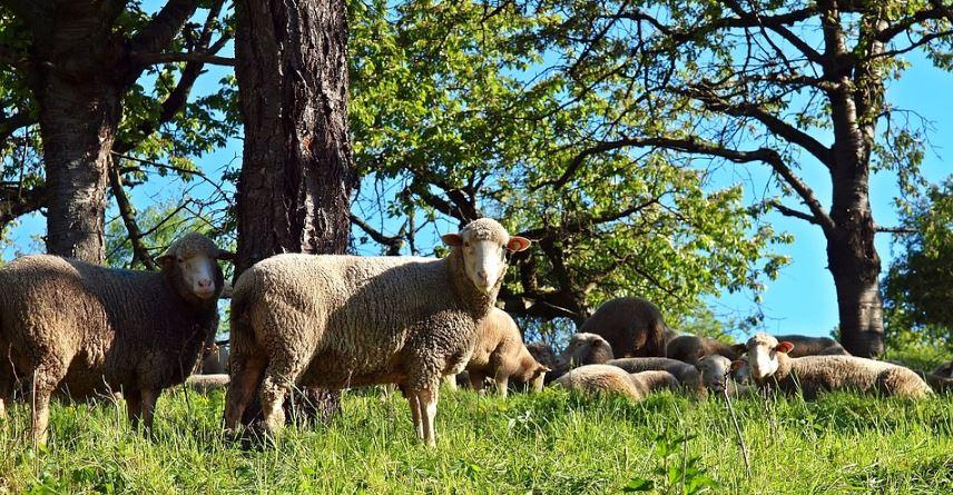 Grupo de ovejas como se dice