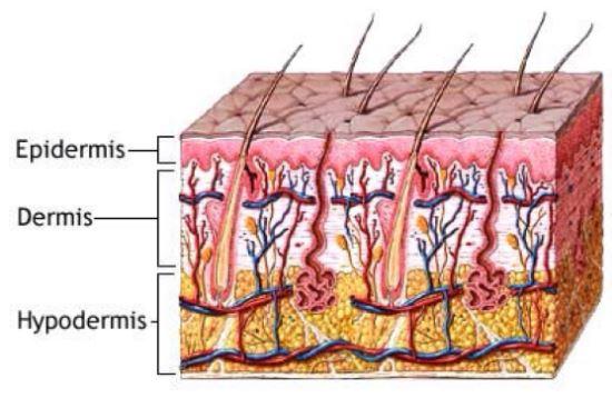 Como se llama la capa externa de la piel