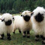 Como se llama al conjunto de ovejas